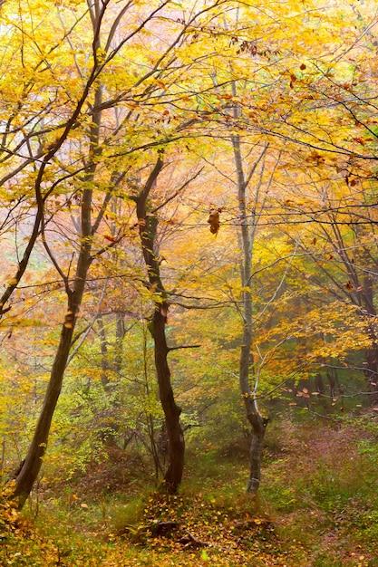 Dia de neblina em uma floresta colorida de outono Foto Premium