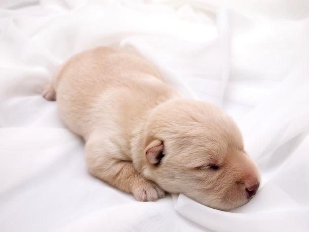 Doce pequeno filhote de cachorro escocês de terrier escocês Foto Premium