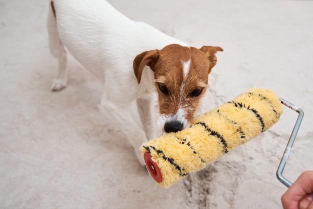 Dog jack russell terrier brincando com rolo de pintura na sala branca. conceito de renovação Foto Premium