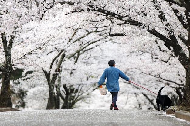 Dog walker em cherry blossom path no belo jardim na primavera, matsumoto Foto Premium