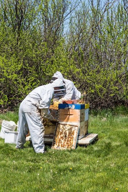 Dois apicultores irreconhecíveis inspecionando bandejas de criação de colméia super Foto Premium