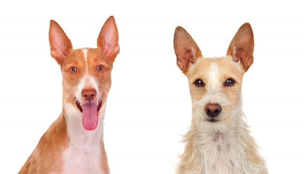 Dois belos cães Foto Premium