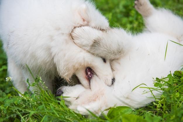 Dois cachorrinhos samoyed brancos fofinhos engraçados brincando na grama verde Foto Premium