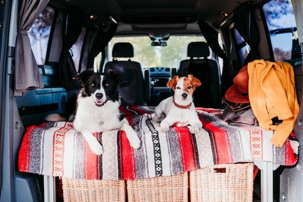 Dois cachorros fofos em uma van, border collie e jack russell relaxando. conceito de viagens Foto Premium