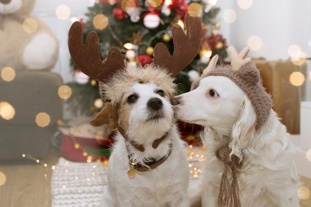 Dois cães bonitos sob a árvore de luz do natal com o traje do chapéu de rena. Foto Premium