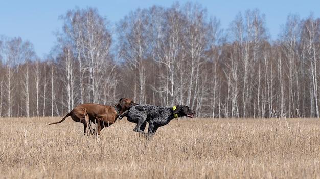 Dois cães correm para destilação de campo Foto Premium