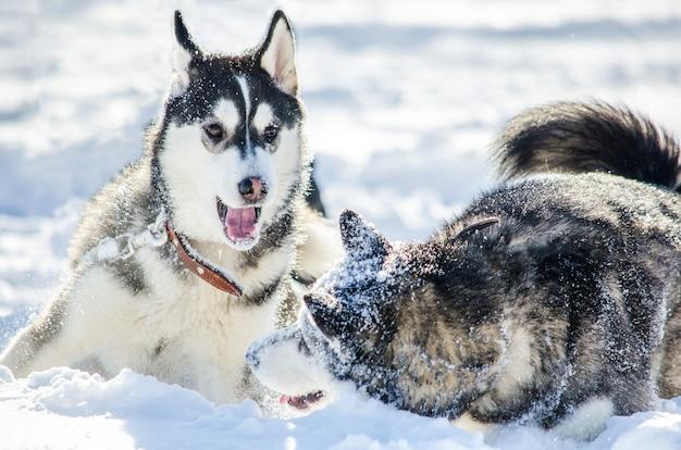 Dois cães da raça husky siberiano jogar uns com os outros. Foto Premium