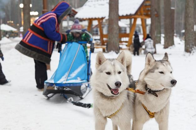 Dois cães husky em uma equipe são usados para crianças de trenó Foto Premium