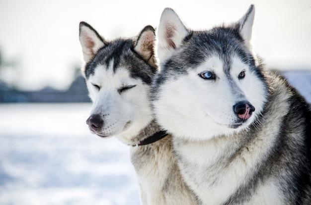Dois cães husky siberiano olha ao redor. cães husky tem cor preto e branco casaco. Foto Premium