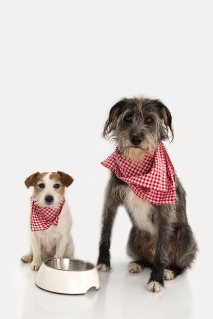 Dois cães que comem o alimento. jack russell e sheepdog sentando-se ao lado de uma bacia Foto Premium