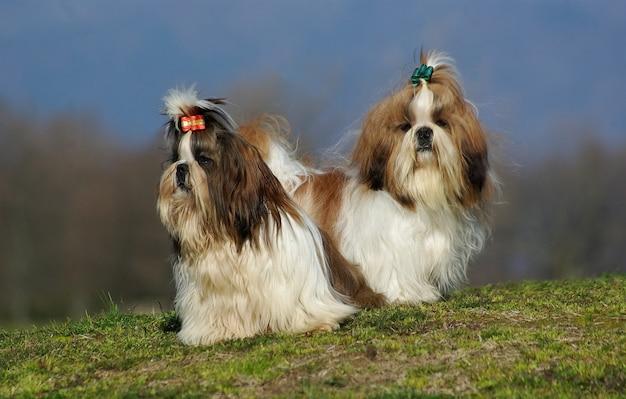 Dois cães shih tzu Foto Premium