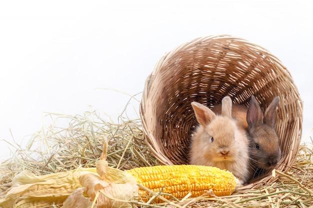 Dois coelhinhos se escondiam em uma cesta de madeira, comendo milho como um gosto. Foto Premium