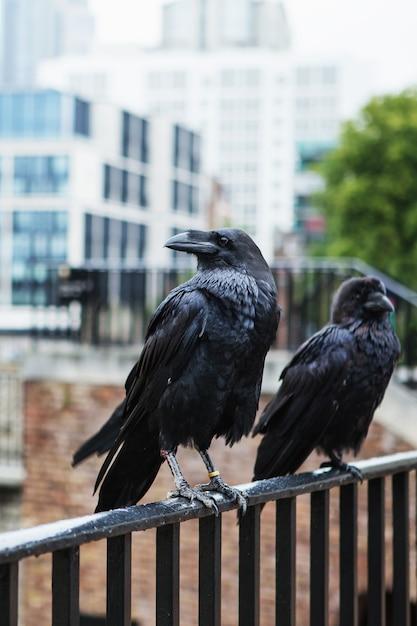 Dois corvos negros na torre de londres, reino unido. corvo comum (corvus corax). Foto Premium