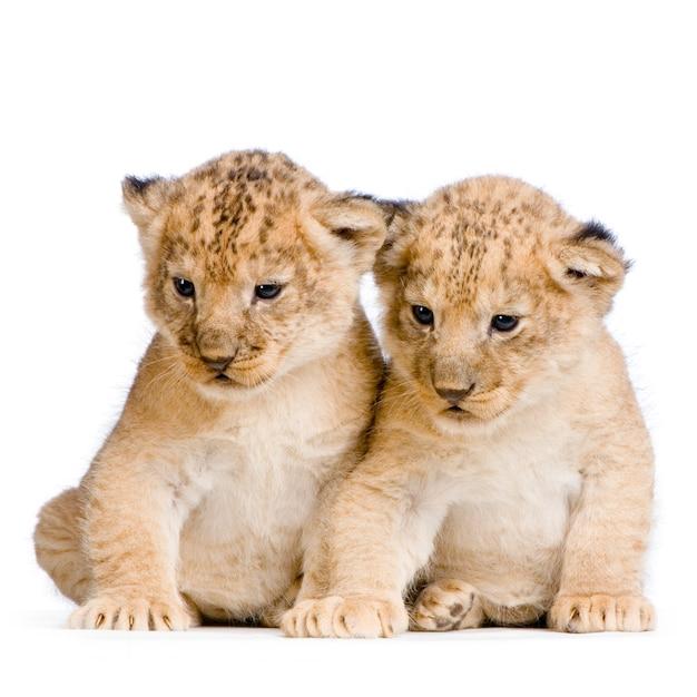 Dois filhotes de leão (3 semanas) isolados. Foto Premium
