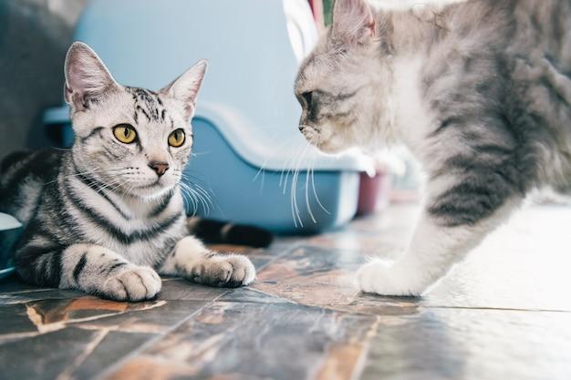 Dois gatinhos boxeando ou brincando em casa após a alimentação Foto Premium
