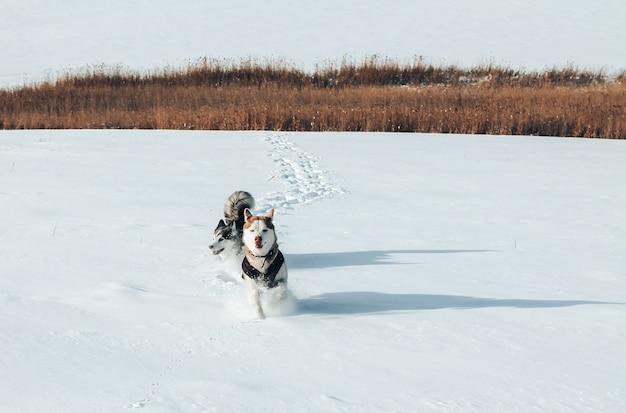 Dois huskies de raça pura correndo na neve Foto Premium