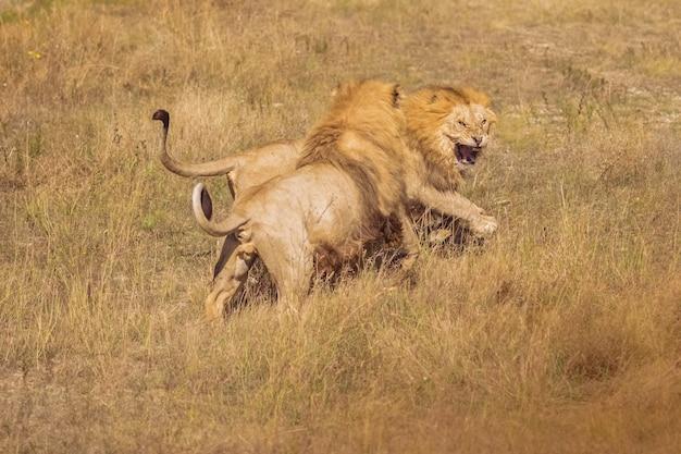 Dois leões em estado selvagem estão lutando. lindos leões soltos Foto Premium
