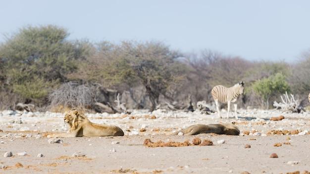 Dois leões preguiçosos masculinos novos que encontram-se para baixo na terra. zebra (desfocado) andando sem perturbações. safári dos animais selvagens no parque nacional de etosha, atração turística principal em namíbia, áfrica. Foto Premium