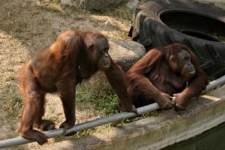 Dois orangotangos Foto gratuita