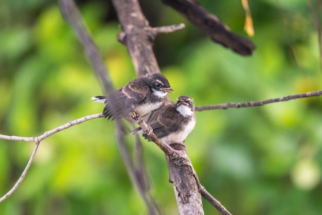 Dois, pássaros, (malaysian, pied, fantail), natureza, selvagem Foto Premium