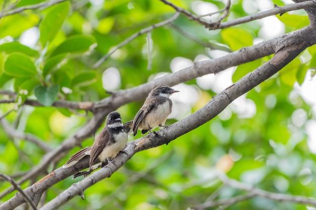 Dois, pássaros, (malaysian, pied, fantail, rhipidura, javanica), preto branco, cor, é, par Foto Premium
