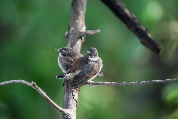 Dois pássaros (pied fantail flycatcher, rhipidura javanica) cor preta Foto Premium