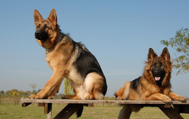 Dois pastores alemães Foto Premium