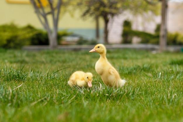 Dois patinho amarelo pequeno na grama verde, Foto Premium