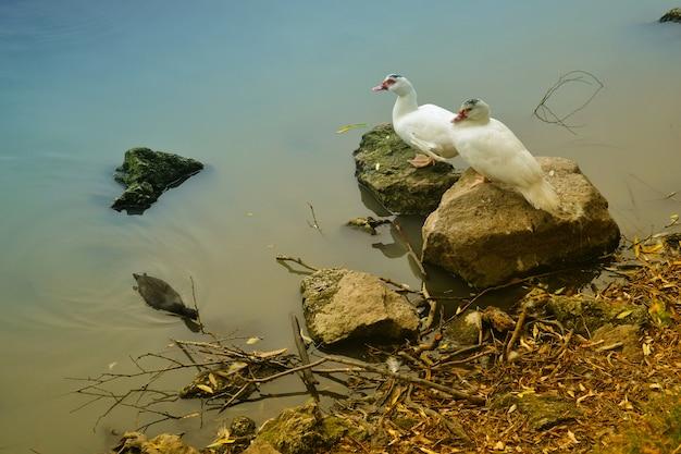 Dois patos na margem do lago Foto Premium