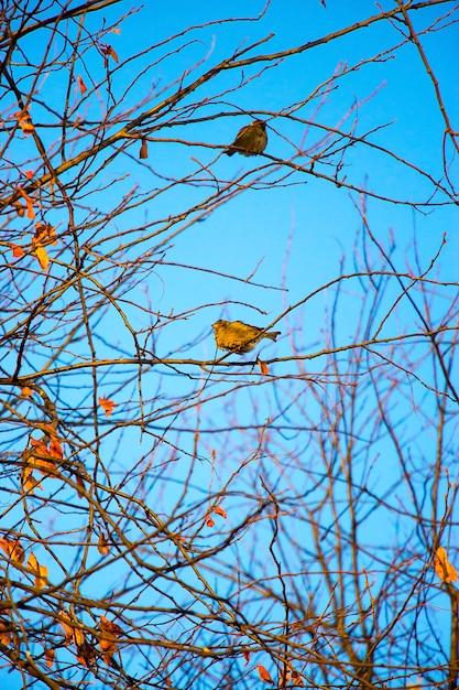 Dois, pequeno, pardal pássaro, sentando, ligado, ramos, contra, um, luminoso azul, céu Foto Premium