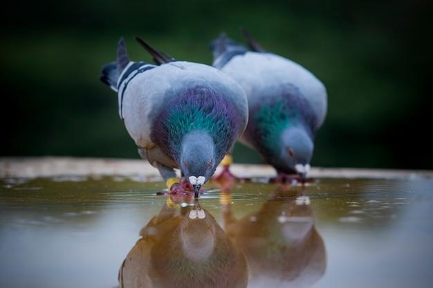 Dois pombos-correio brid água potável no piso do telhado Foto Premium