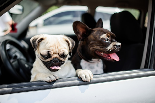 Dois pugs engraçados sentar na cadeira no carro Foto Premium