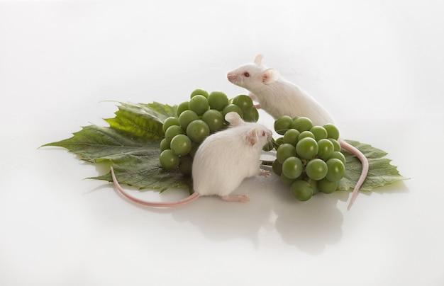 Dois ratos brancos com cachos de uvas verdes em um fundo branco Foto Premium