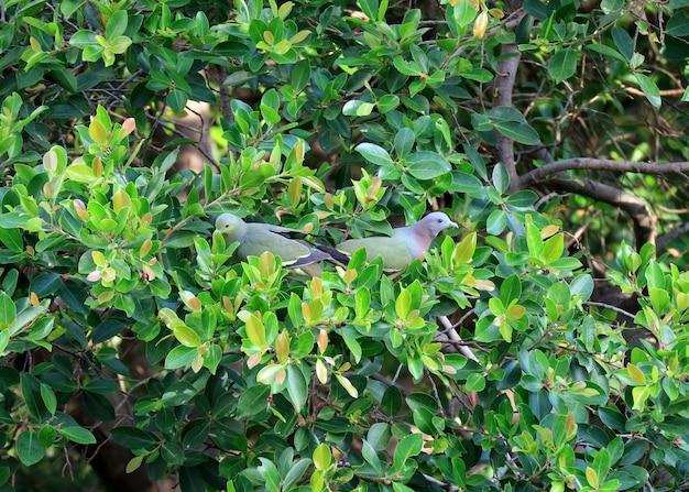 Dois, selvagem-bico faturado, verde, pombos, colecionar, frutas, ligado, um, grande, árvore, bangkok, urbano, tailandia Foto Premium