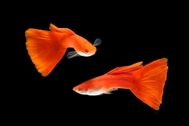 Dois, vermelho, gyppy, peixes, em, aquário, em, pretas Foto Premium