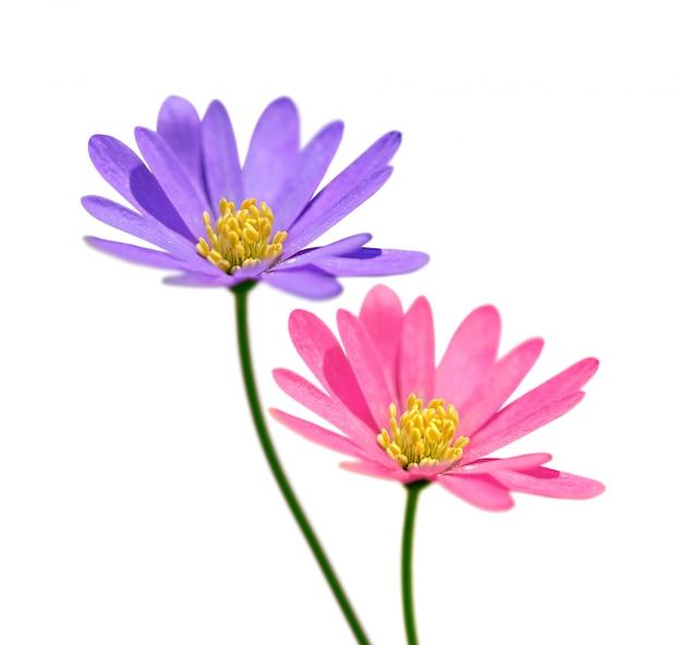 Duas flores isoladas no fundo branco Foto Premium