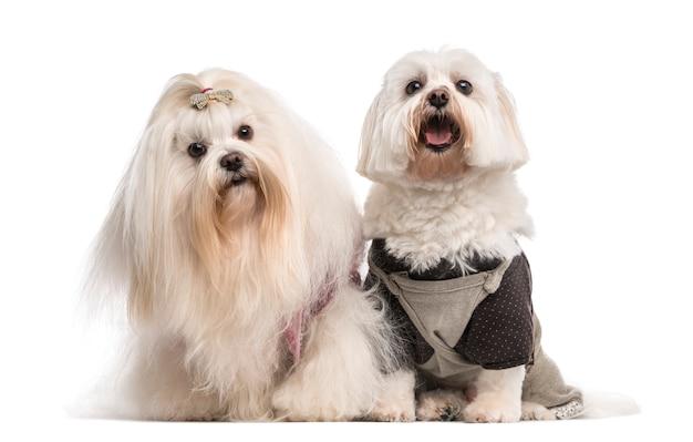 Duas malteses em frente a uma parede branca Foto Premium