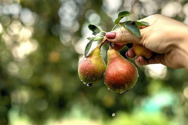 Duas peras com folhas são seguradas pela mão. existem gotas de água na superfície das peras Foto Premium