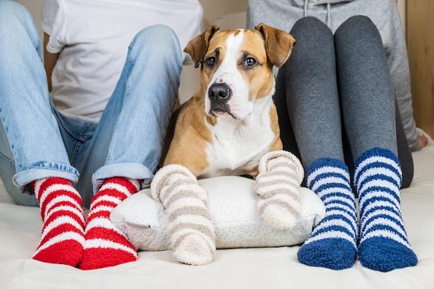 Duas pessoas e seu cachorro em meias coloridas, sentado na cama no quarto. staffordshire terrier e proprietários na cama usando meias coloridas semelhantes, conceito de um cão como membro da família Foto Premium