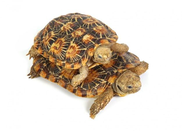 Duas tartarugas juntas Foto gratuita