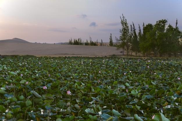 Dunas de areia branca e lago com lótus Foto Premium