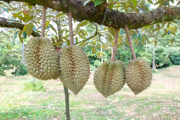 Durian está na fase de rendimento. no pomar de frutas, província de chanthaburi, tailândia Foto Premium
