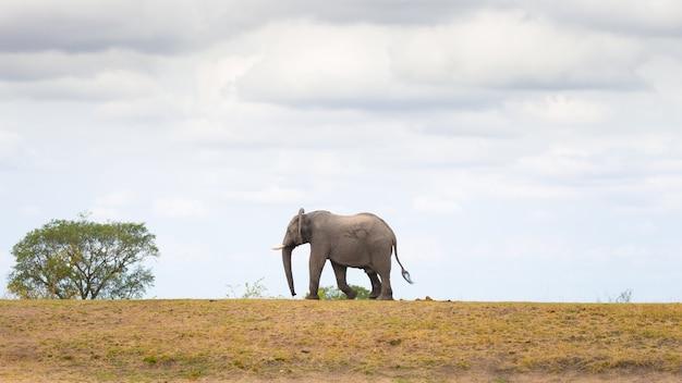 Elefante africano andando à distância Foto Premium