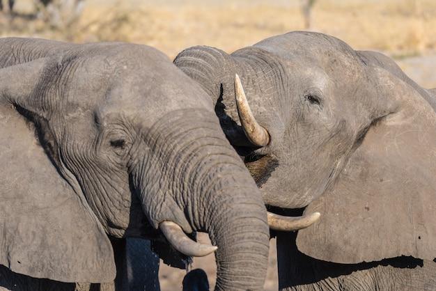 Elefante africano close-up, bebendo. safari da vida selvagem no parque nacional chobe, destino de viagem em botswana, áfrica. Foto Premium