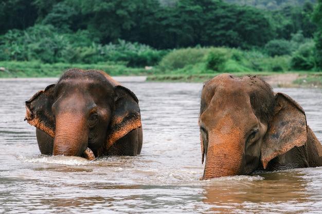 Elefante asiático em uma natureza na floresta profunda na tailândia Foto Premium