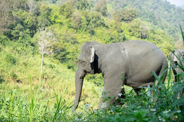 Elefante asiático selvagem na floresta bonita. Foto Premium