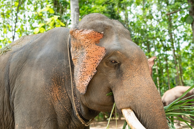 Elefante come grama no zoológico Foto Premium