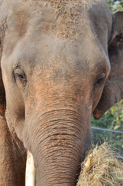 Elefante da ásia Foto Premium