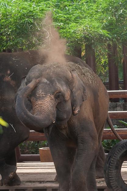 Elefante de bezerro jogar poeira Foto Premium