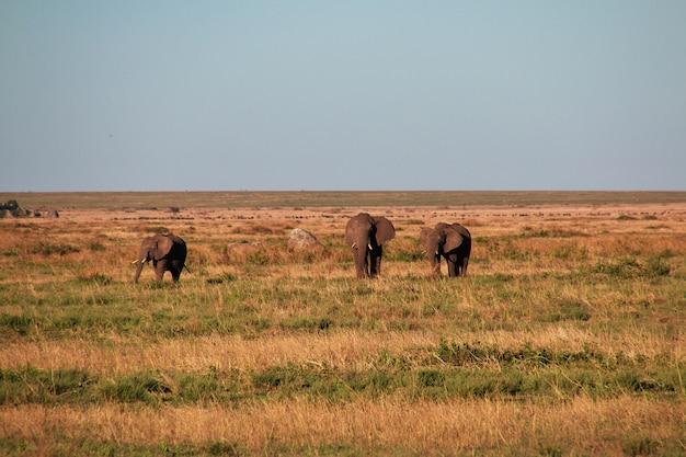Elefante na savana no quênia e na tanzânia, áfrica Foto Premium